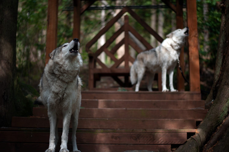 Predators of the Heart Wolf Encounter